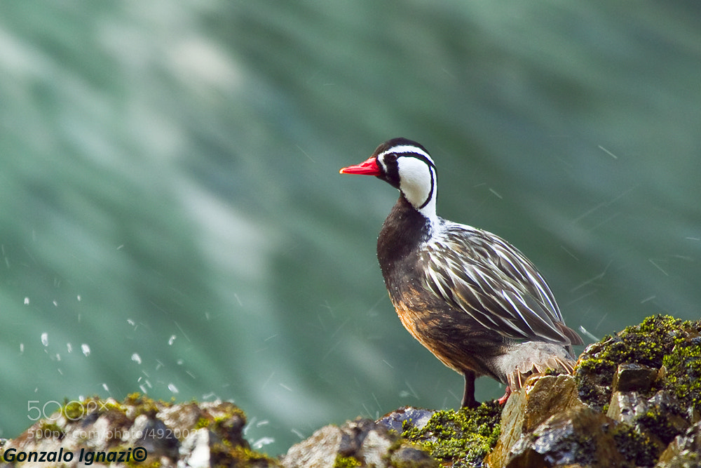 Photograph Torrent Duck by Gonzalo Ignazi on 500px