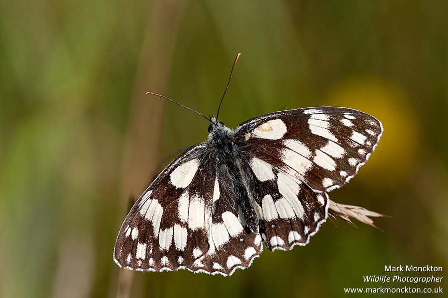 Photograph Marbled White by Mark Monckton photography on 500px