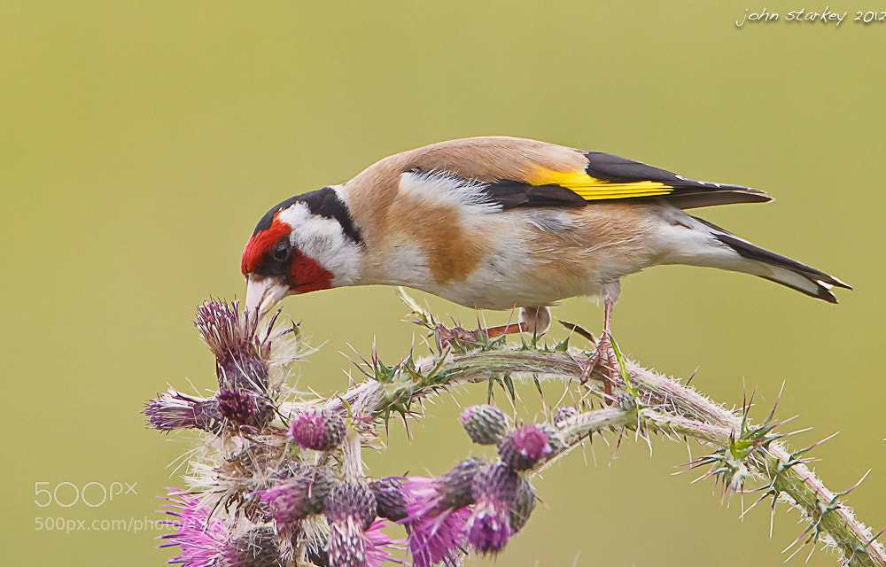 Photograph Goldfinch on thistle by John Starkey on 500px