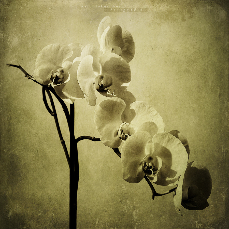 Photograph Orchid by Norbert Vajdulák on 500px
