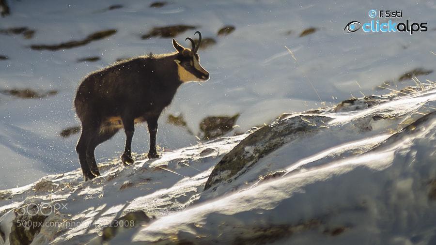 Photograph Le chamois dans la solitude de l'Automne (Valsavarenche, Parco Nazionale Gran Paradiso, Valle d'Aost by Francesco Sisti on 500px