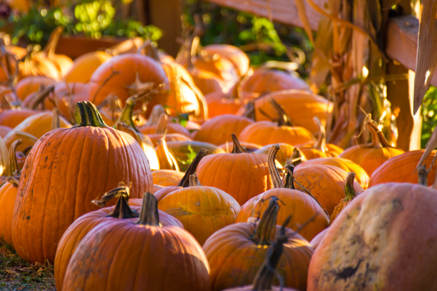 Photograph Pumpkin time by Mike Martin on 500px