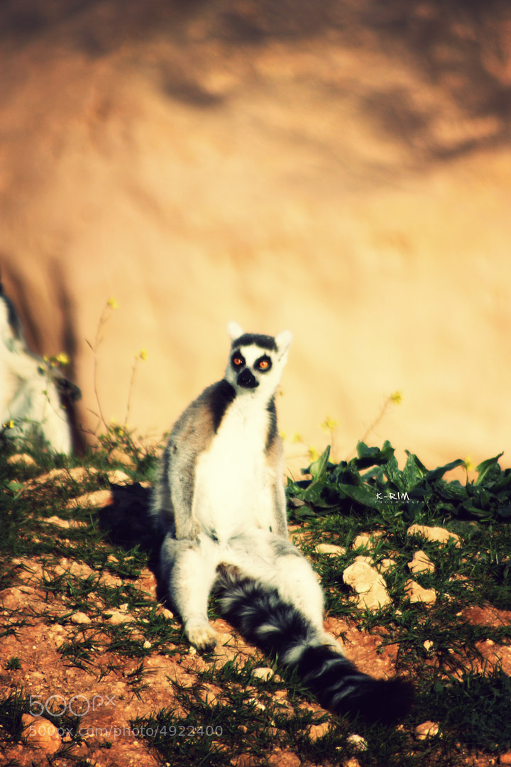 Photograph Lemur 4 by Karim Kharrazi on 500px