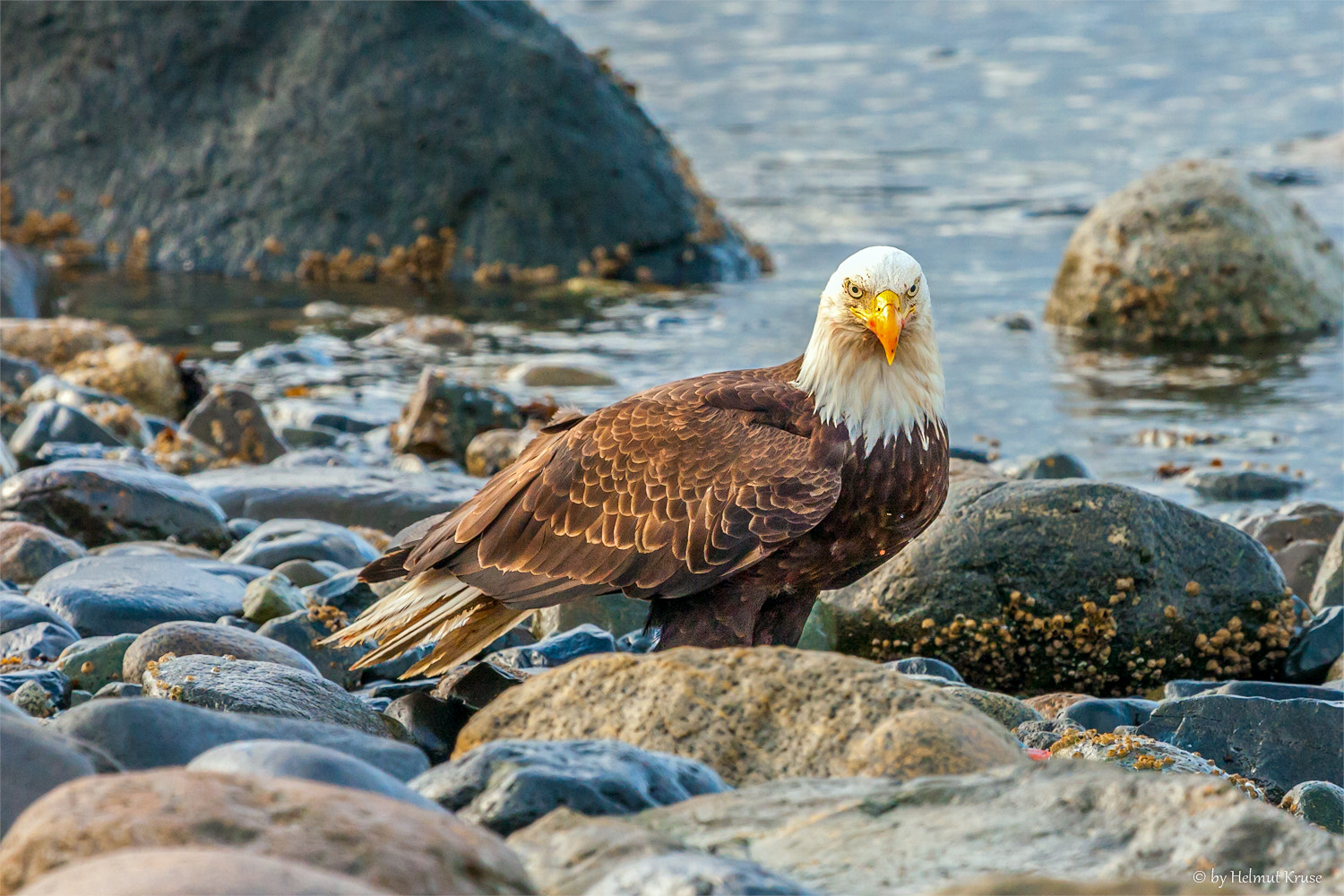 Photograph Bald Eagle at the beach by Helmut Kruse on 500px
