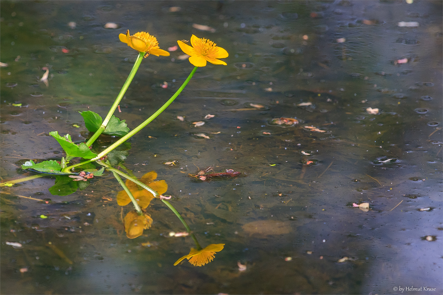 Photograph Flower Reflection at the Lake by Helmut Kruse on 500px