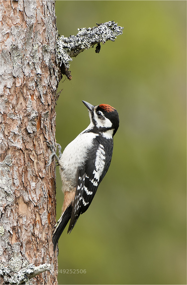 Photograph Young Woodpecker by Hans Rentsch on 500px