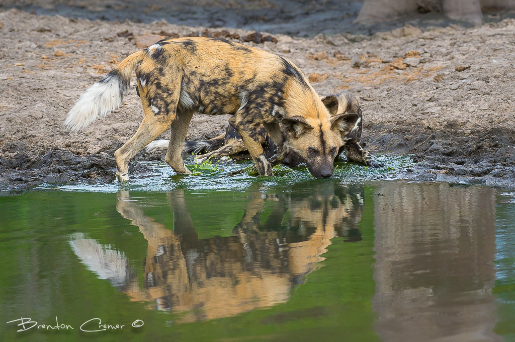 Photograph Reflection of a Wild Dog by Brendon Cremer on 500px