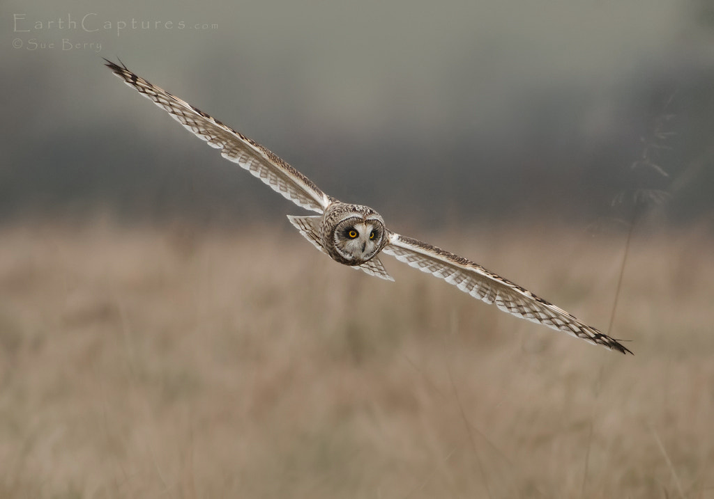 Photograph Short Eared Owl by Sue Berry on 500px