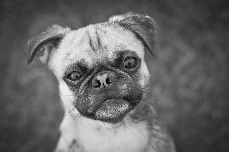 Photograph The oh so sad pug by Elke Vogelsang on 500px