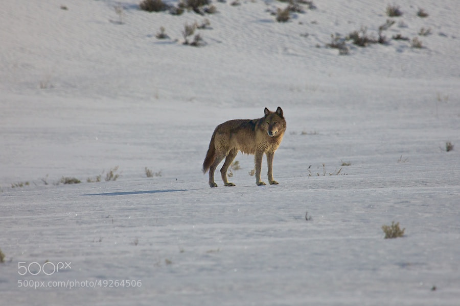 Photograph Yellowstone Wolf III by Buck Shreck on 500px