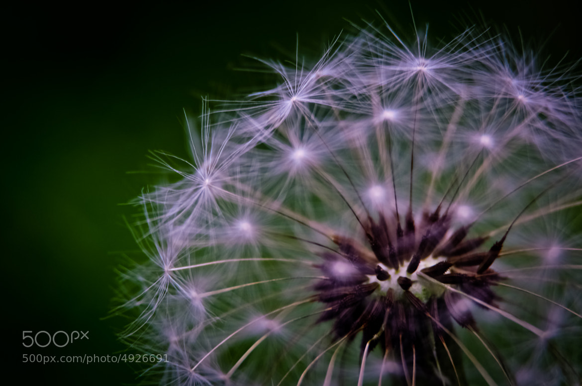 Photograph Dandelion by biLoo  on 500px