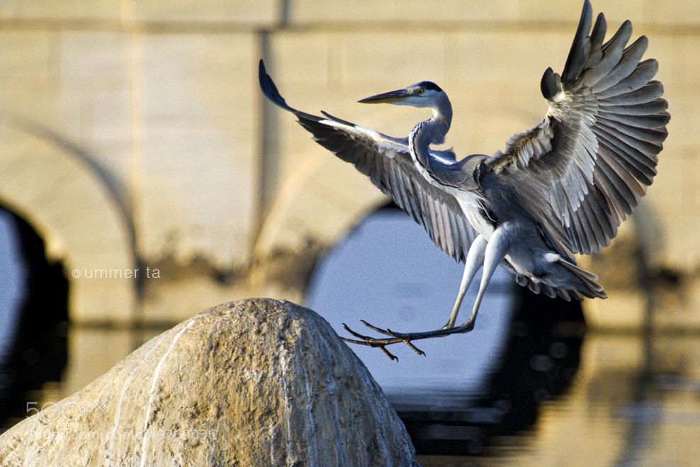 Photograph Grey Heron by Artist Ummer Ta  on 500px