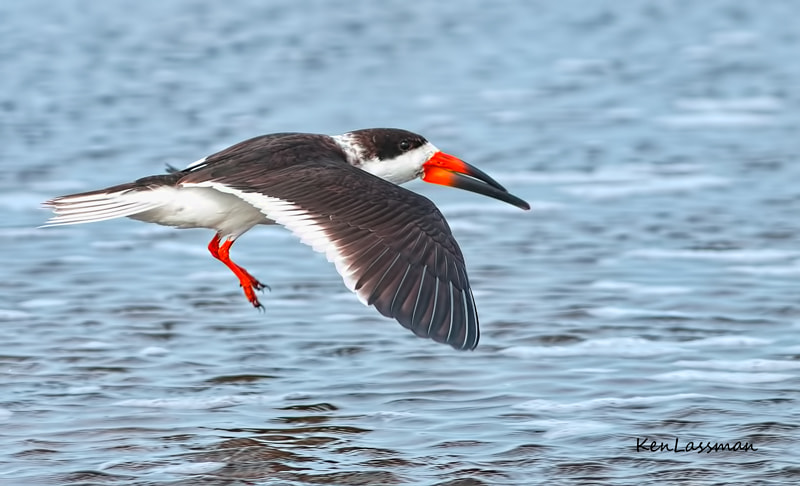 A male Black Skimmer.  When there is a white space on the nape of their neck between their cap and back,  it indicates they are in non-breeding plumage.