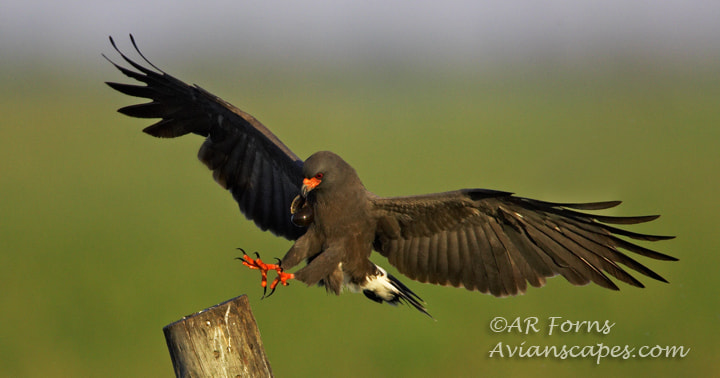 Photograph Snail Kite Landing by Alfred Forns on 500px