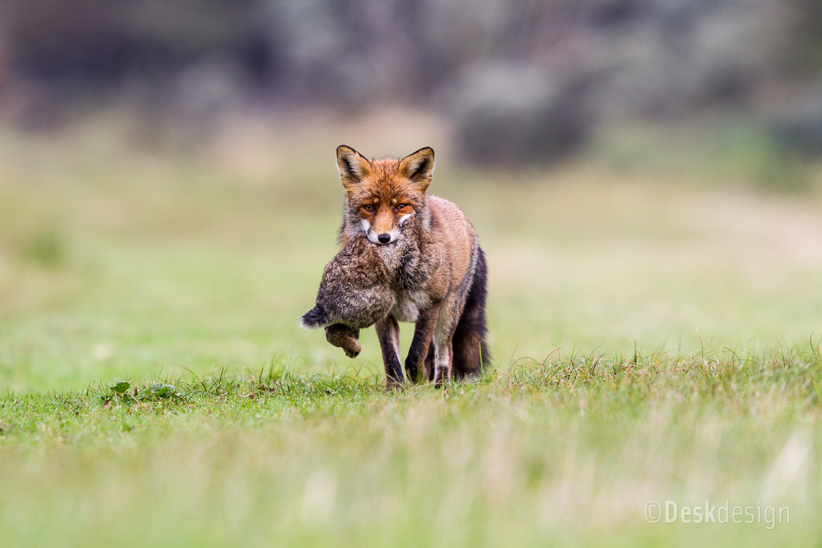 Photograph Fox & rabbit by Olof Fredrikze on 500px