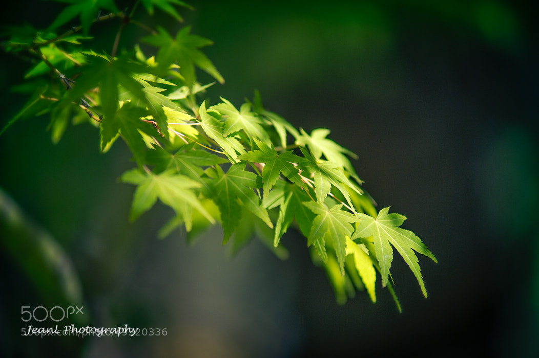 Photograph Green Maple Leaves by Jean Li on 500px
