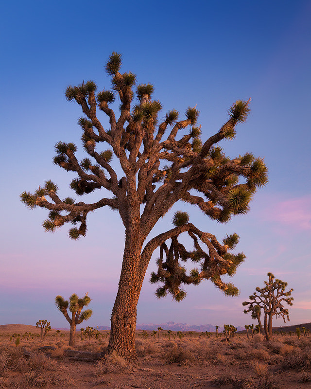 Photograph Joshua tree, Death Valley by Sarah Marino on 500px