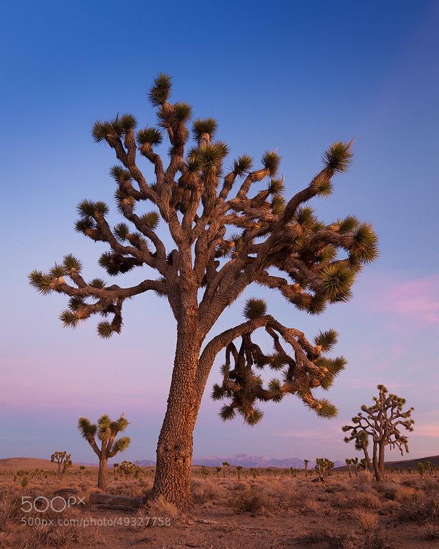 Photograph Joshua tree, Death Valley by Sarah Marino on 500px