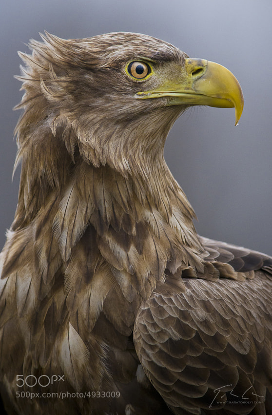 Photograph White-tailed eagle (Haliaeetus albicilla) by Csaba Tökölyi on 500px