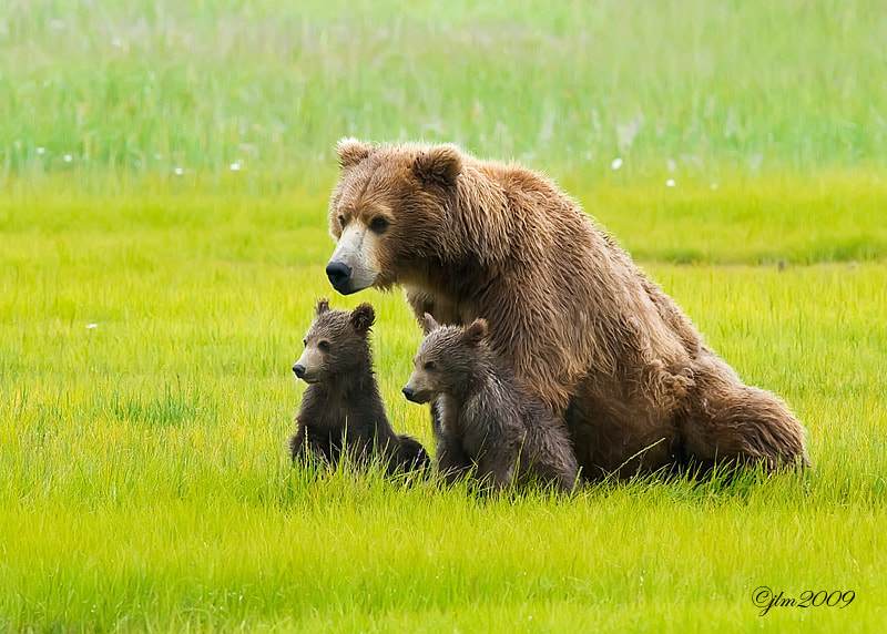 This image was taken in Katmai, Alaska when we were photographing the grizzlies and their young.  Hard not to want to hold one of these little cuties.