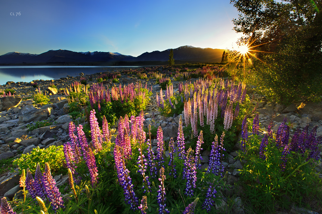 Photograph A Side of Lupine by Christian Lim on 500px