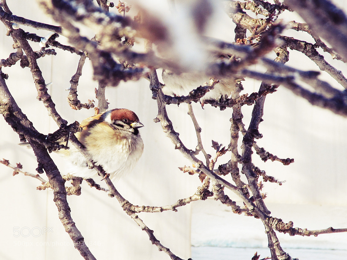 Photograph sparrow by Ульяна Стеблиненко on 500px
