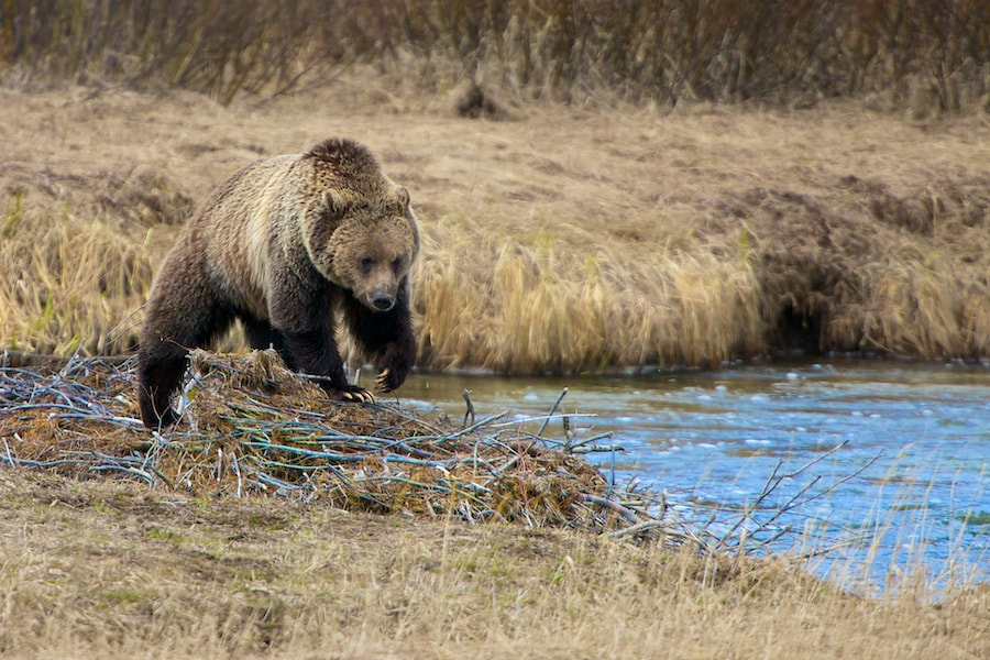 Photograph Yellowstone Grizzly by Buck Shreck on 500px