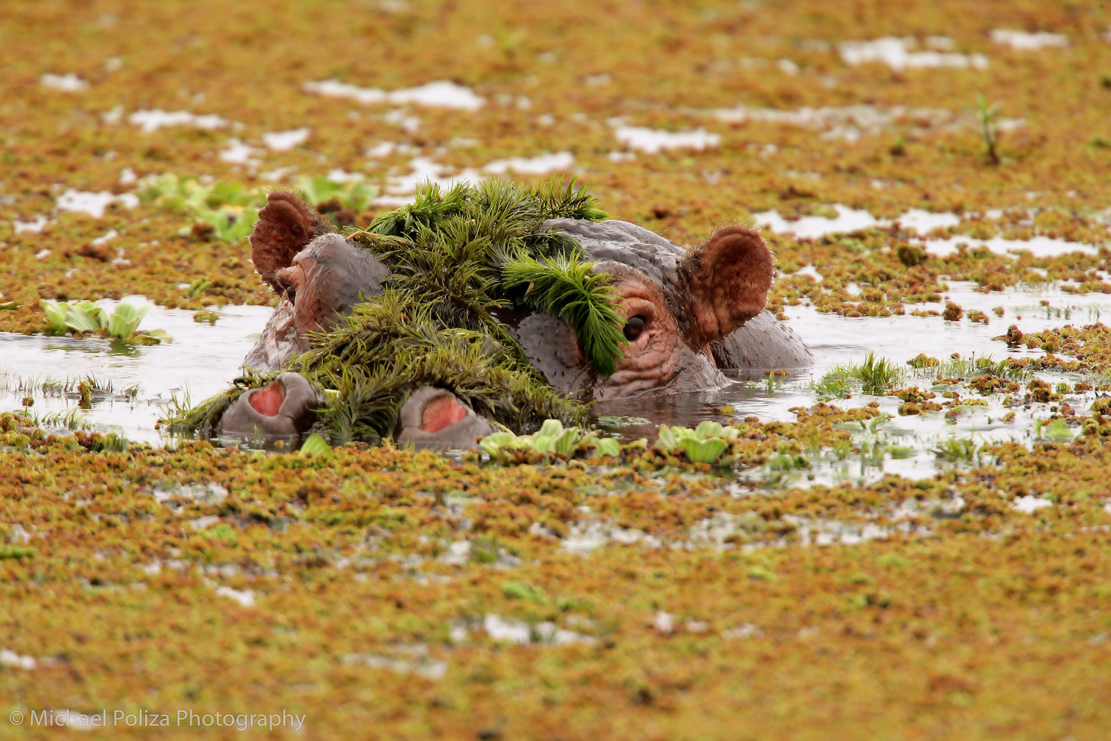 Photograph Hippo Under Cover by Michael Poliza on 500px