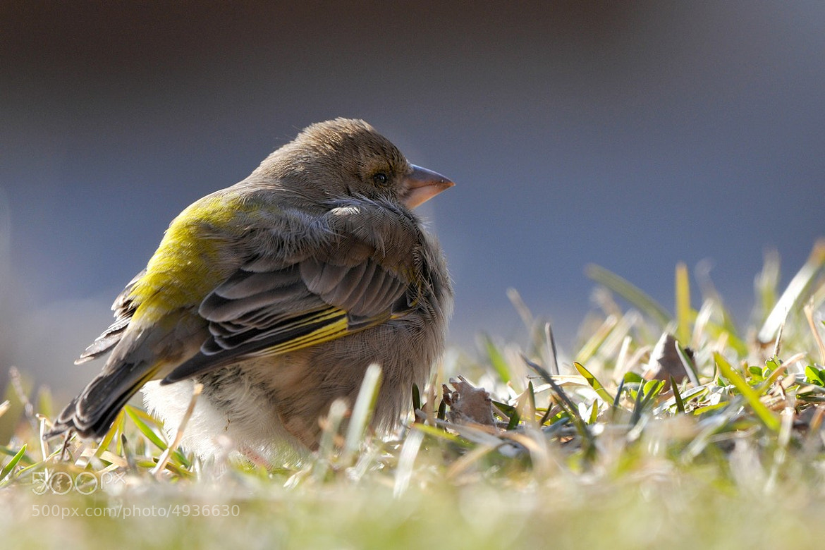 Photograph CARDUELIS CHLORIS by Miran Krapež on 500px
