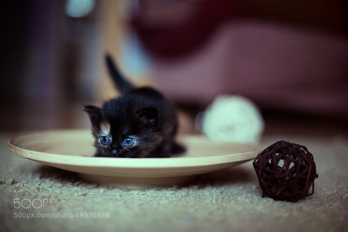 Photograph playful kitten by Anton Likhach on 500px