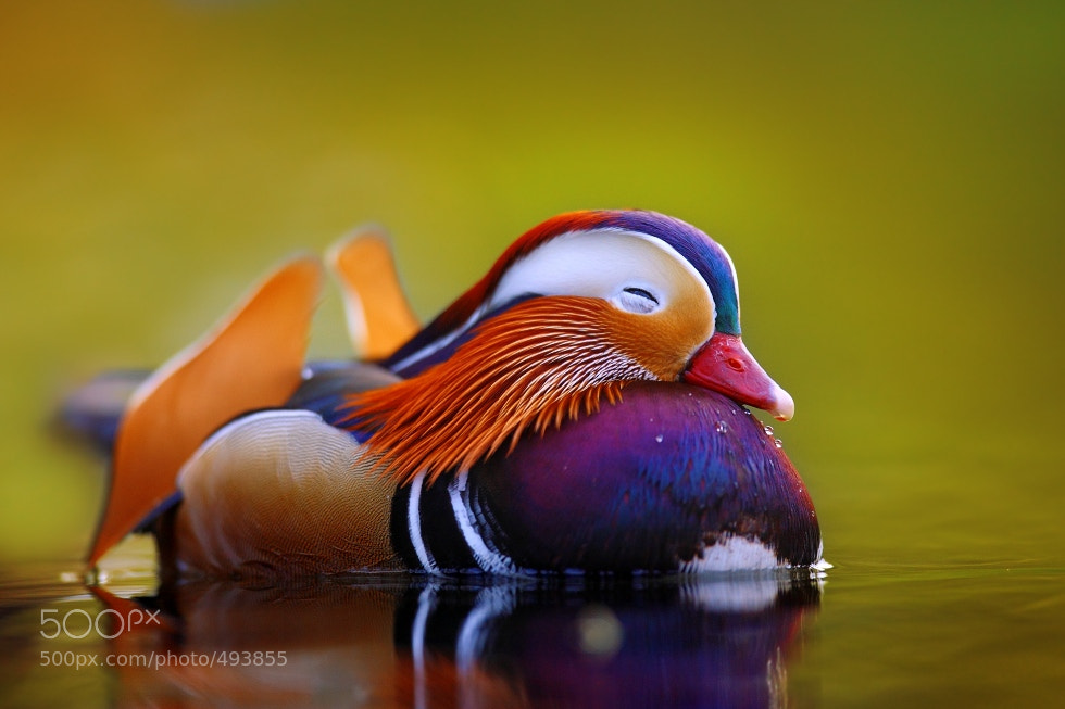 Photograph Mandarine duck  by Tomas Rak on 500px