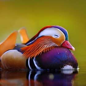 Mandarine duck  by Tomas Rak (Tomatito)) on 500px.com