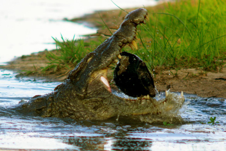Photograph Croc bite! by Lorey van den Berg on 500px