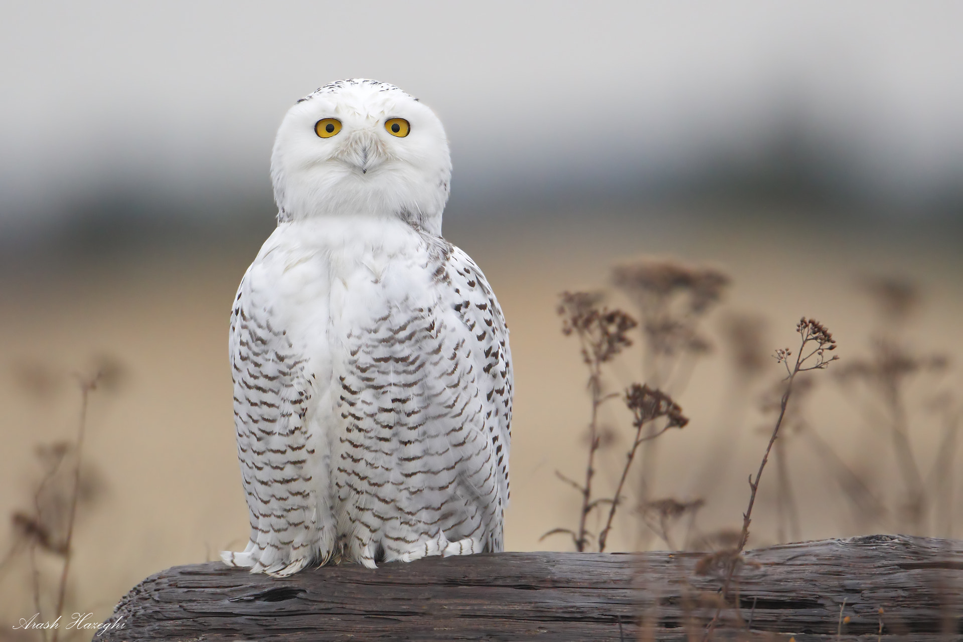 Photograph Snowy Owl by Ari Hazeghi on 500px