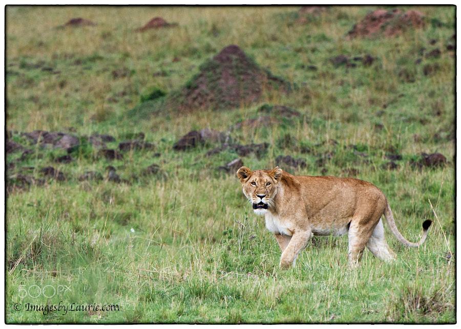(Maasai Mara, Kenya)