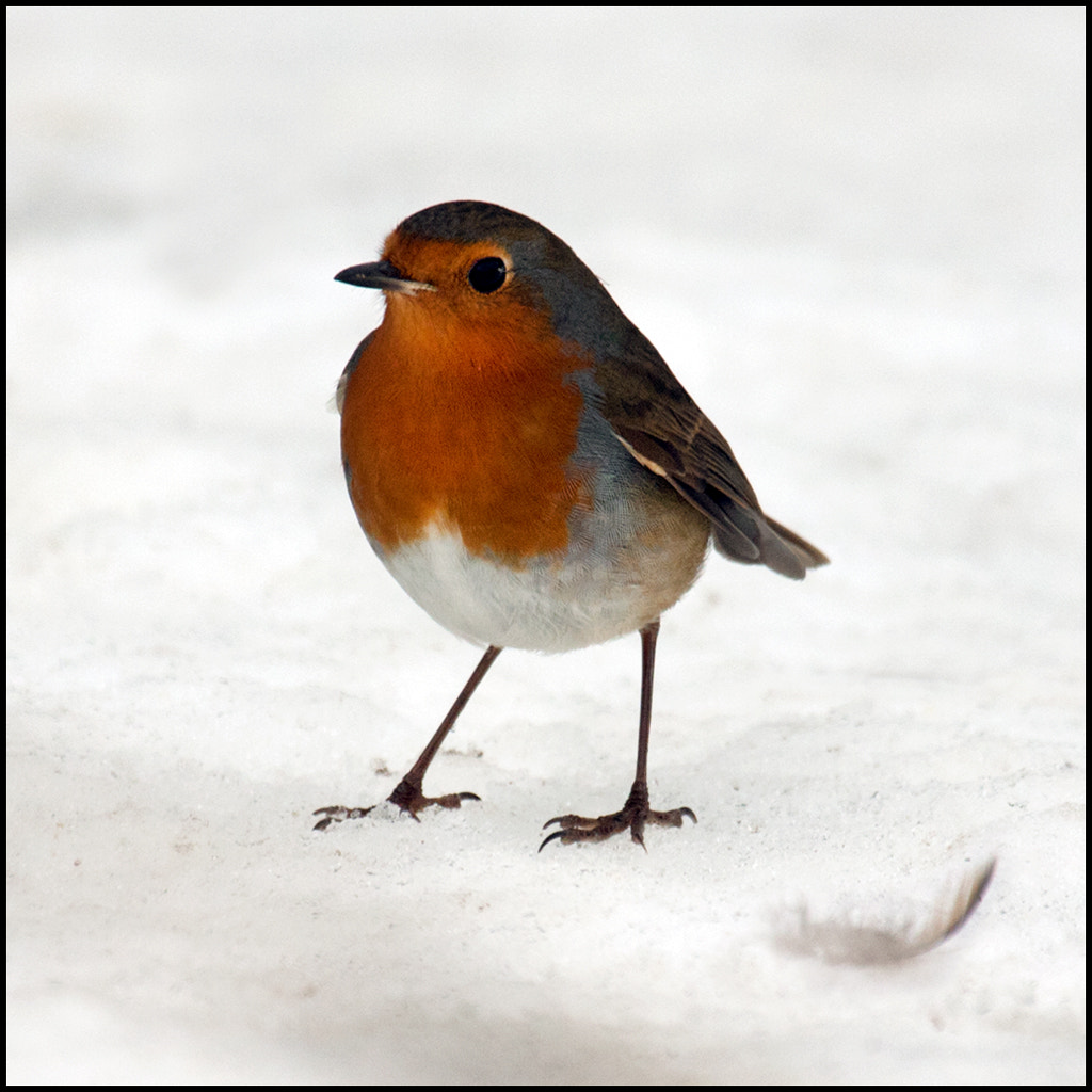 Photograph redbreast by John Dolan on 500px
