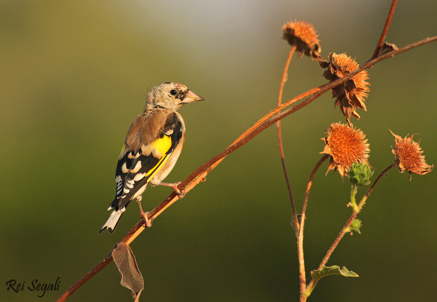Photograph Goldfinch by rei segali on 500px