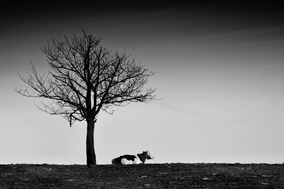 Photograph tree and cow by Patrick Guillon on 500px
