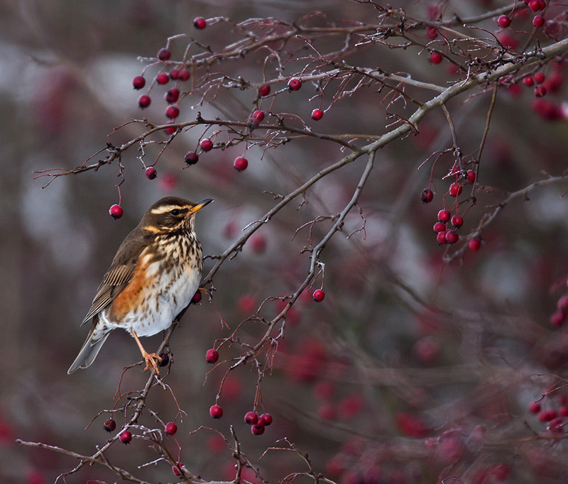 Photograph redwing by dave blackwell on 500px