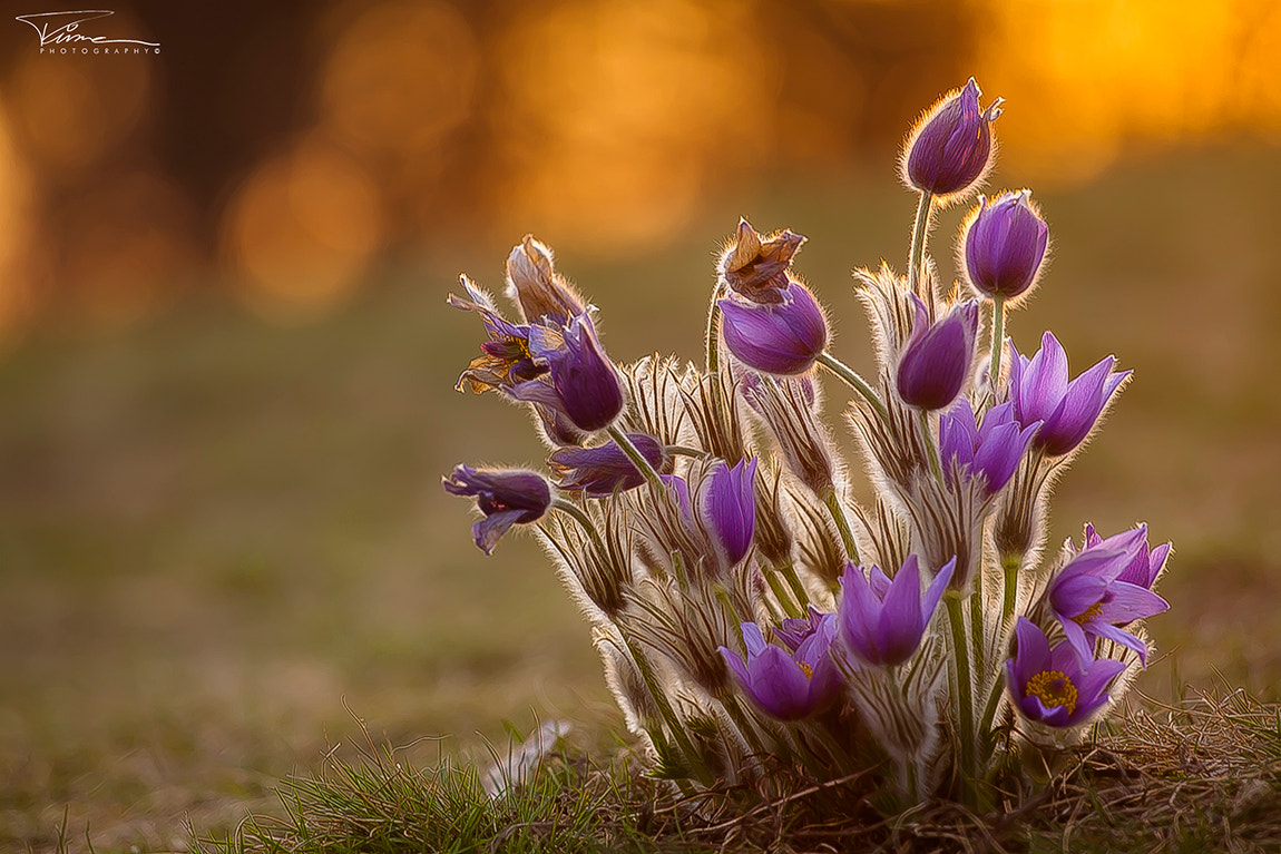 Photograph Pasque Flower by Martin Tůma on 500px
