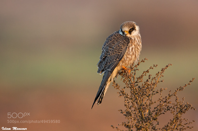 Photograph Young Red-Fooded Falcon by Islam Mansour on 500px
