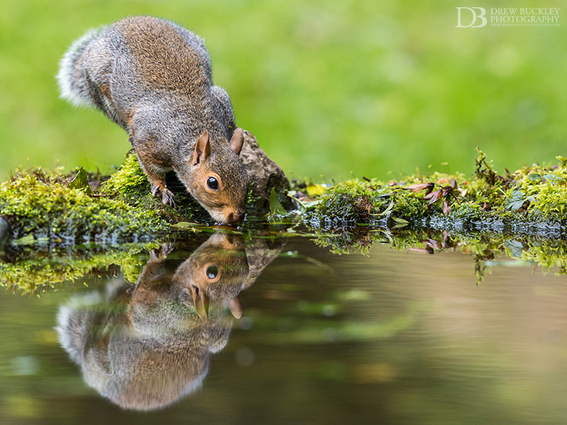 Photograph Sipping Squirrel by Drew Buckley on 500px