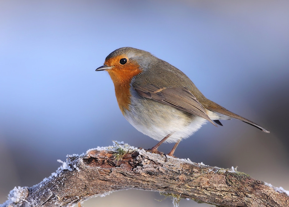 Photograph Robin by Karen Summers on 500px
