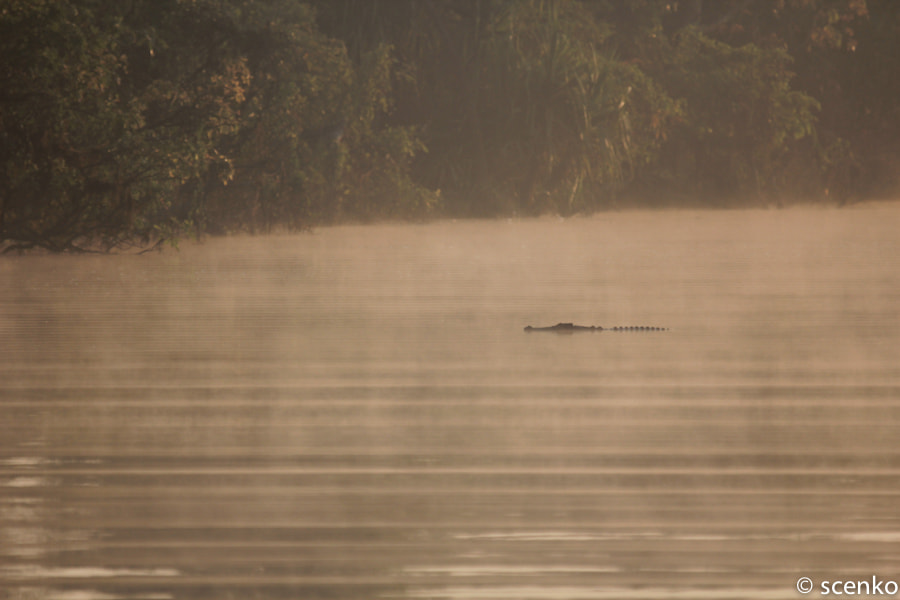Photograph Saltwater Crocodile at Dawn by © Scenko on 500px