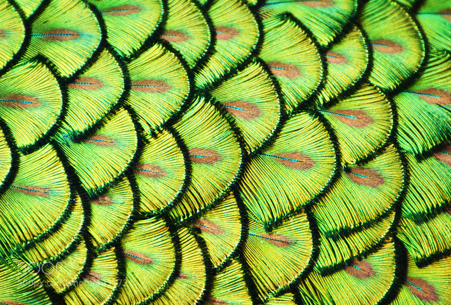 Photograph Peacock Scales by Michael Fitzsimmons on 500px
