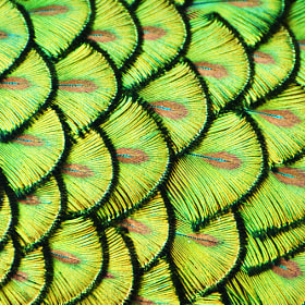 Peacock Scales by Michael Fitzsimmons (MFitz)) on 500px.com