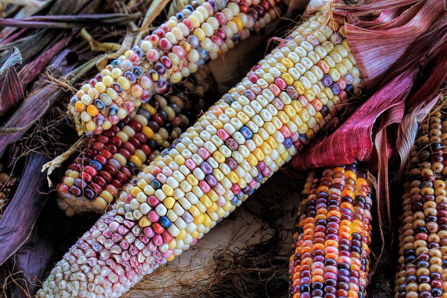 Fall Corn by Jennifer Williams on 500px.com