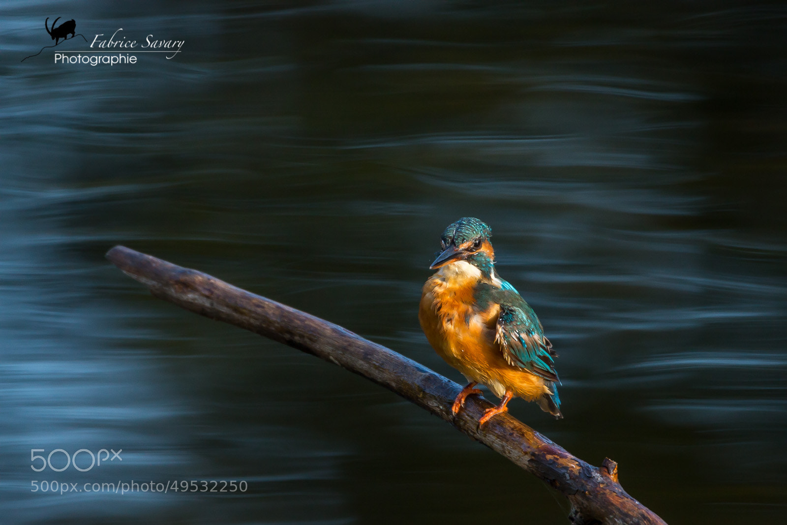 Photograph Kingfisher ou martin pêcheur by Fabrice Savary  on 500px