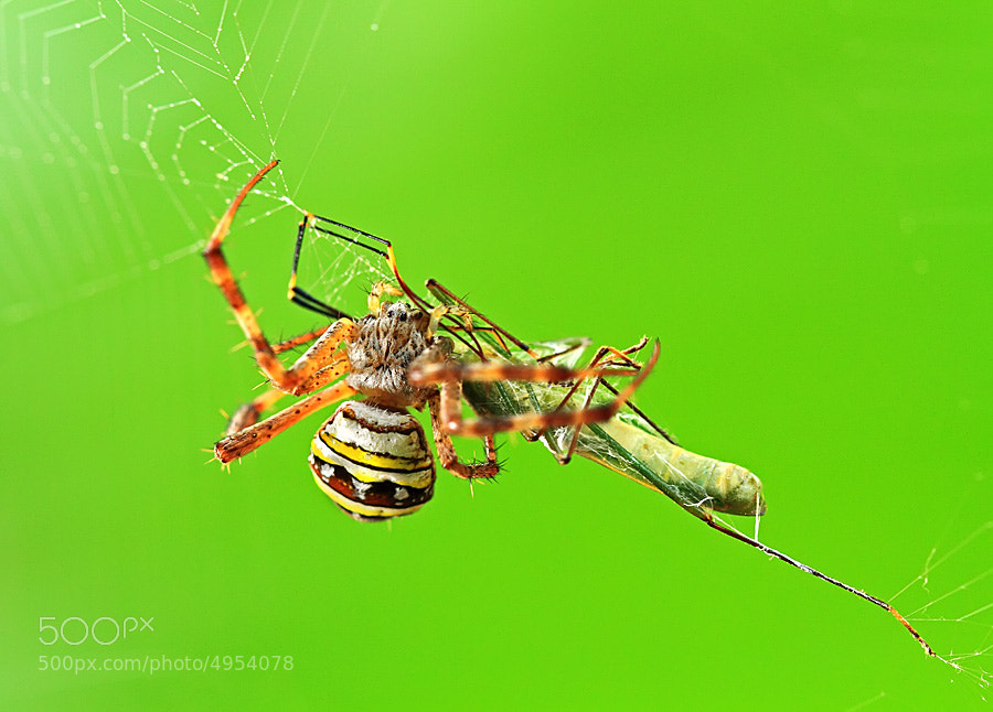 Photograph spider and its prey by shikhei goh on 500px