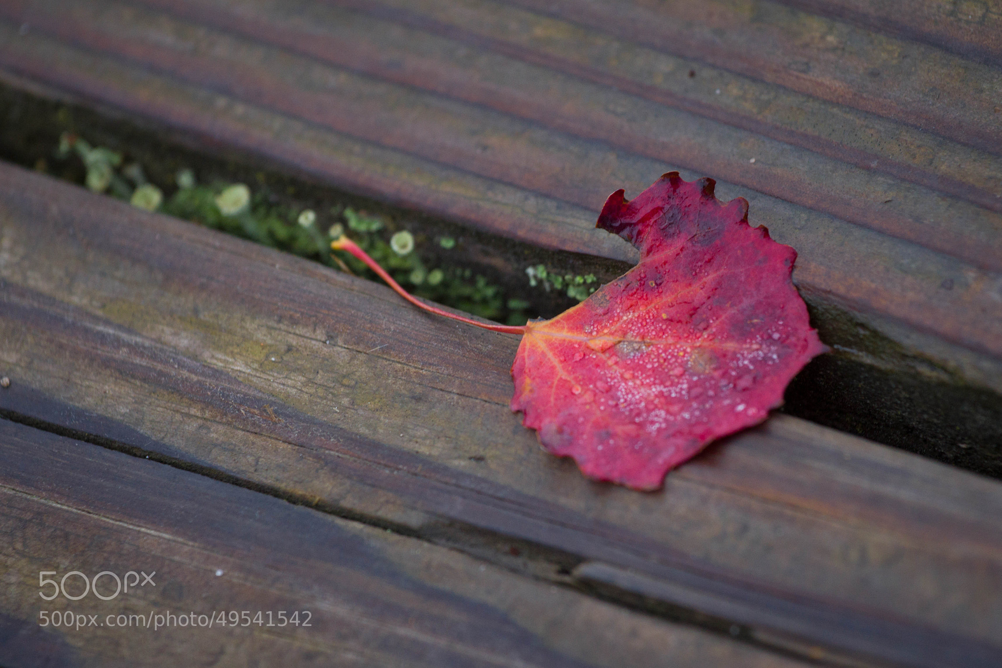 Photograph Red leave by Heike Kitzig on 500px